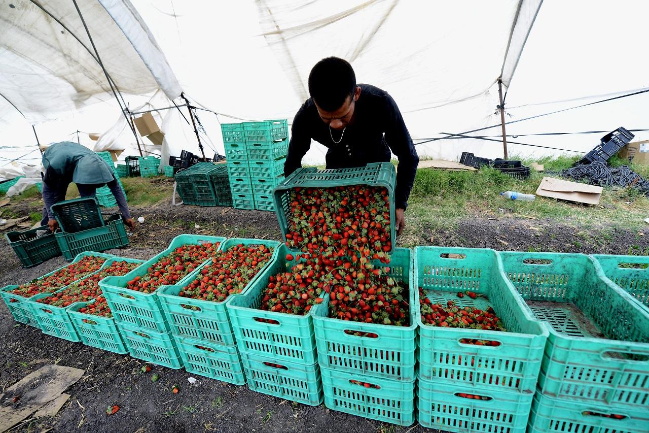 Festival de la Fresa iniciará con el reparto de media tonelada de esta frutilla