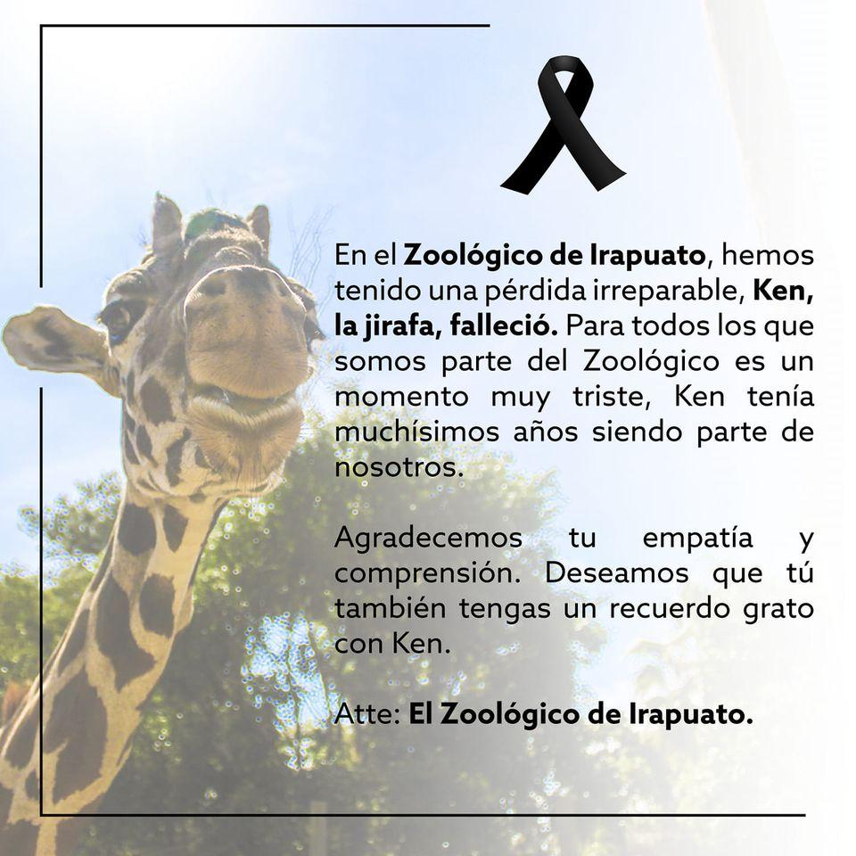 """Otra mala noticia: muere """"Ken"""", la jirafita del zoológico de Irapuato"""